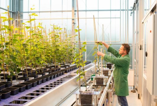 Planten worden opgebonden in het Crop Innovation Center (copyright: KeyGene)